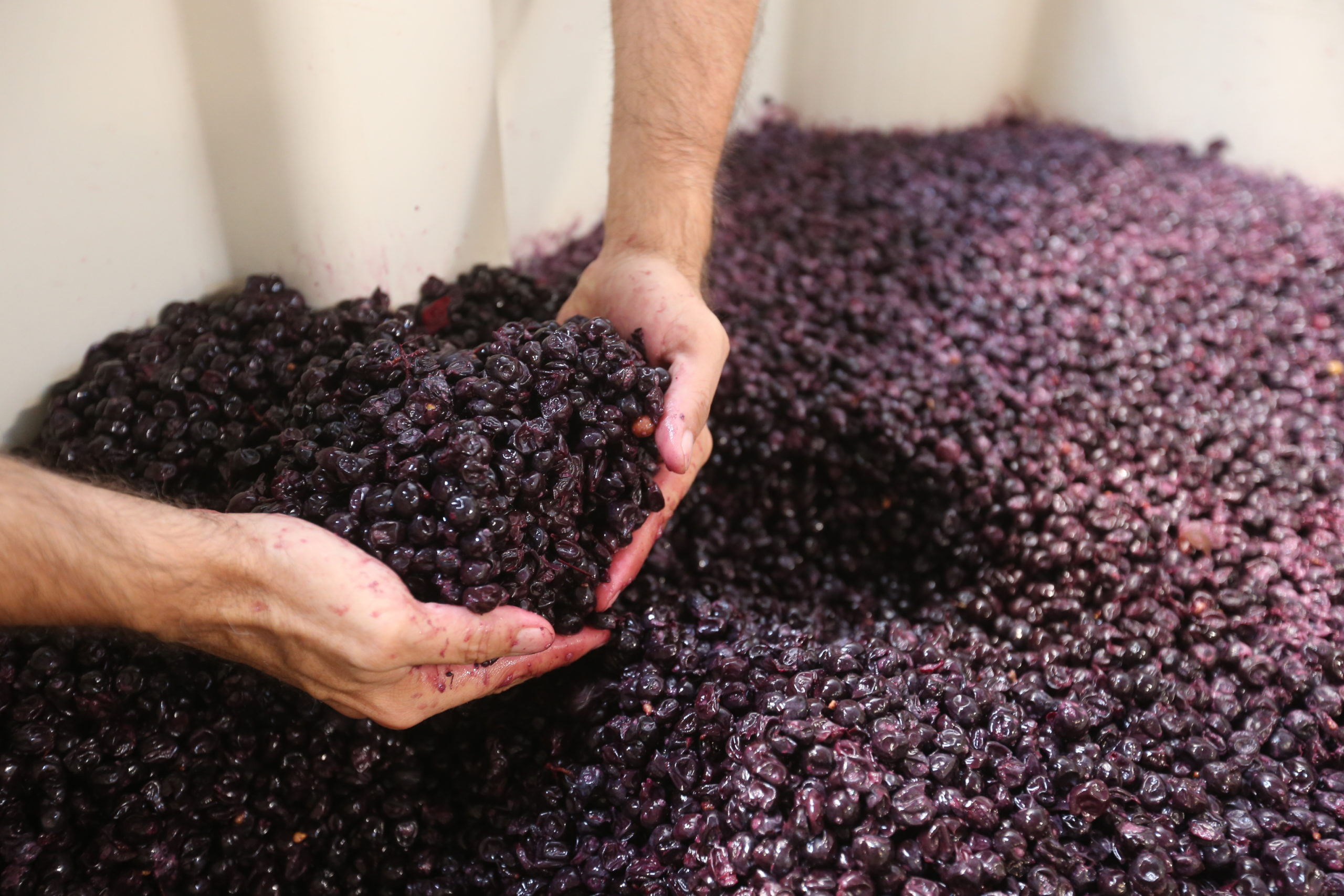 Hands in a vat of crushed red grapes.