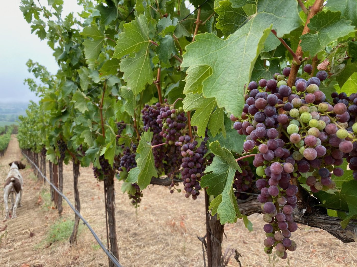 grapes turning color on vine