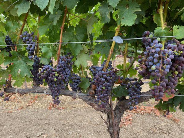 cordon trained vines