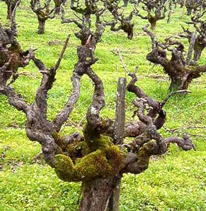 head trained vines