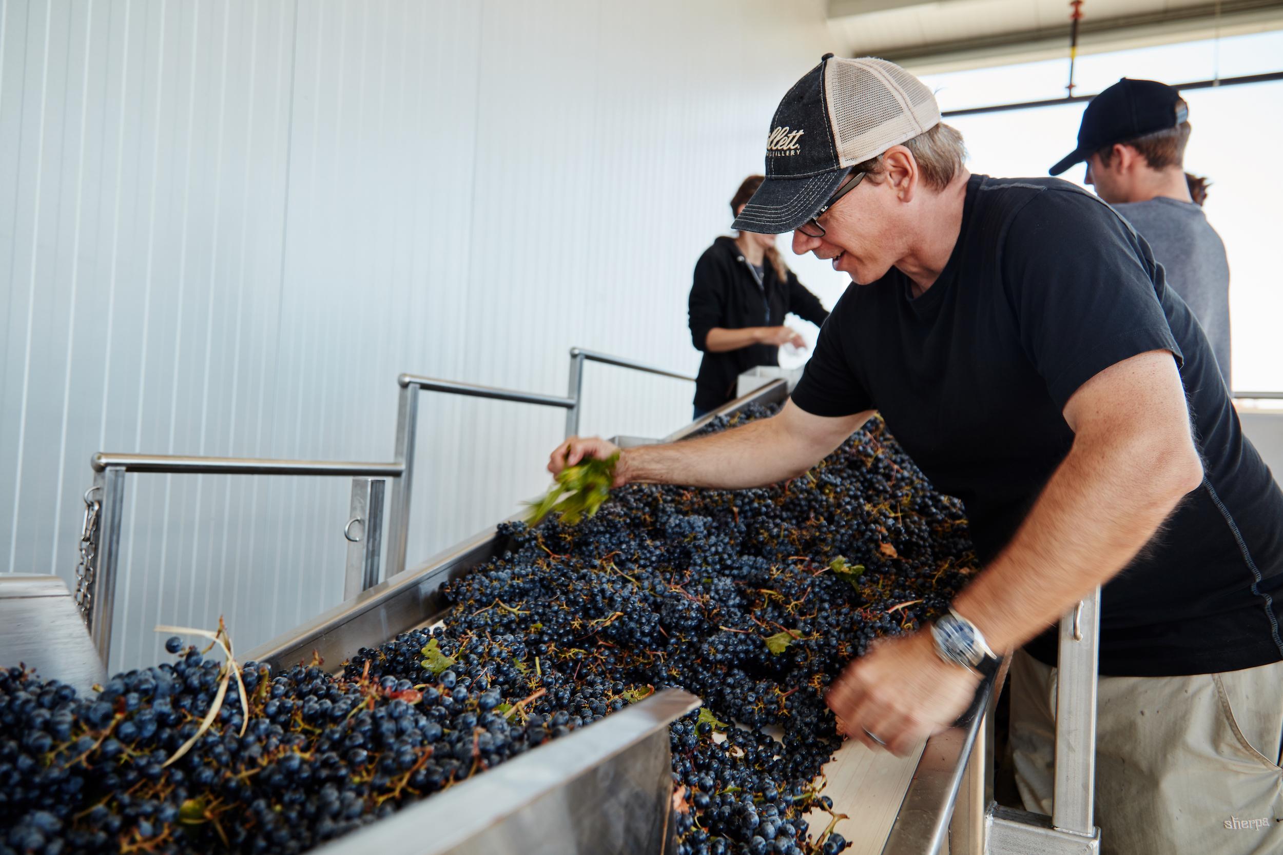 Michael sorting grapes